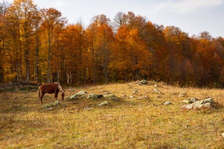 Red horse in the autumn forest glade in the mountains Stok Fotoğraf