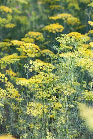 Background with dill umbrella closeup. Garden plant. Fragrant dill on the garden in the garden 写真素材