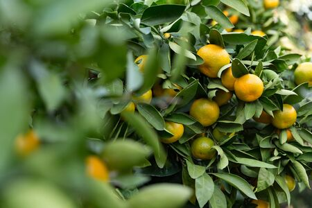 dwarf tangerine tree dotted with ripe fruit, autumn day 写真素材