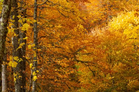 Dense texture of autumn golden branches in the forest