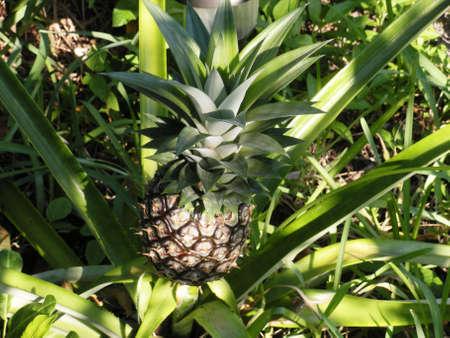 Pineapple, growing in my garden