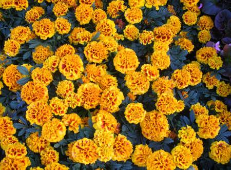 flowered: Marigolds ,golden -flowered composite plants