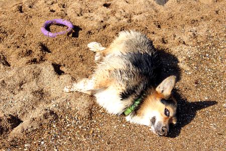 Welsh corgi on the beach Stock fotó