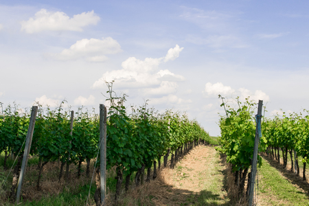 Landscape of vineyard in the sun day. Summer nature background.