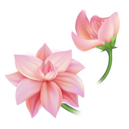 Vector realistic lotos, cherry, sakura peony, apple tree flower blooming and closed.