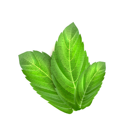Realistic mint leaves. Menthol 3d herb green plant condiment, spice. Vector illustration, peppermint, raw mentha ingredient. Natural organic fresh eco symbol. Isolated background.