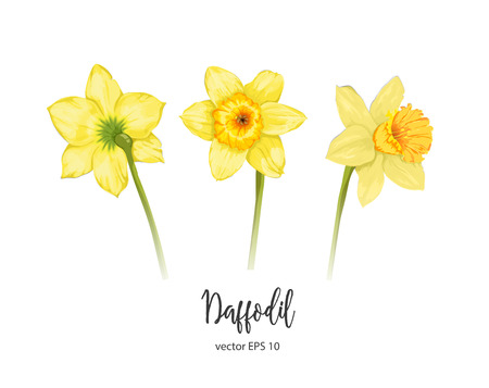 Vector daffodil, narcissus flower set