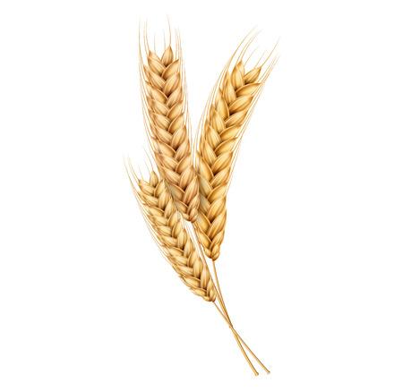 Wektor kłoski pszenicy z ziaren. Realistyczna wiązka owsa, żółte płatki zbożowe, projekt produkcji mąki. Całe łodygi, element opakowania organicznej wegetariańskiej żywności. Ilustracja na białym tle
