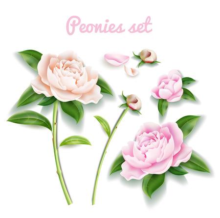 Vector peony flower set. Buds, blossom leaf petal Illustration
