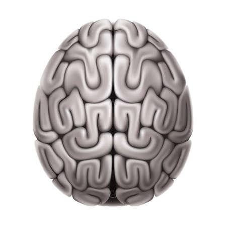 Vector human brain anatomy structure 3d icon