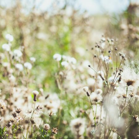 White fuzzy wild flowers burdock with flying seeds. photo