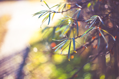 A branch of sea-buckthorn.  Vintage tone, filtered effect. Nature background. Nature photography. Outdoor photography. Art photography. Selective focus.