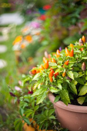 Spaanse peperspeper in de tuin. Groeiende groenten. Hete kruiden in het eten. Stockfoto