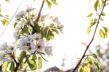 Blooming pear tree in the sunset rays. The aroma of spring. Spring mood Imagens