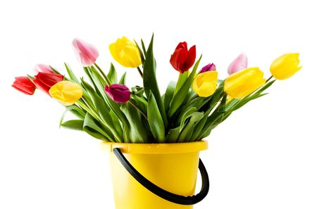 Multi-colored tulips in a yellow bucket. Isolated on white