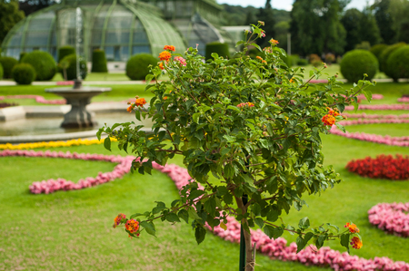 schloss schonbrunn: Closeup of tree in greenhouse from Schonbrunn palace in Vienna Stock Photo