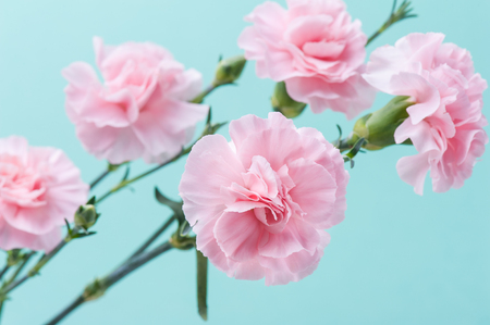 Bunch of pink carnations on mint green background, soft pastel colors
