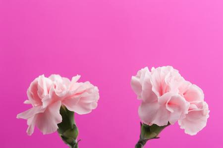 Pink carnations closeup on background, soft pastel colors Banco de Imagens
