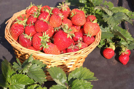 Ripe fresh strawberries in a basket on a garden background. The concept of healthy eating, harvesting.