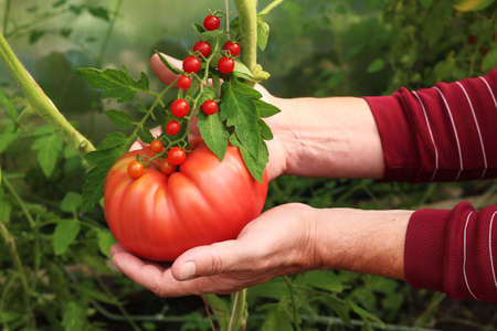Comparison of tomato size large and small. A farmer holds a large tomato in his hands.