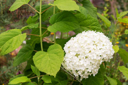 Large blooming white hydrangea in the summer garden. Ornamental shrub in landscape design. Close-up. Banque d'images