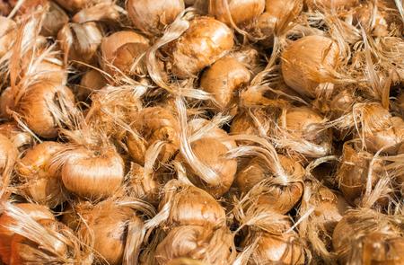 Bulbs of saffron piled with a heap.Closup. Stock Photo