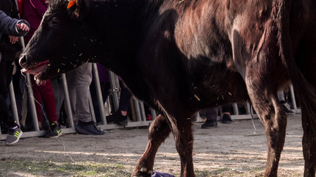 Enraged black bull in the arena. Race of the bull  in the bouvaou: small arena. Stock Photo