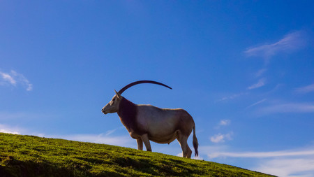 The scimitar oryx or scimitar-horned oryx (Oryx dammah), also known as the Sahara oryx stands on a hill with a blue sky. A profile portrait shows the length of the animals horns.