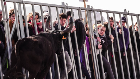 AIGUES-MORTES, FRANCE - February 25, 2018: Race of the bull in the bouvaou: small arena. Traditional release of bulls that riders must touch and dodge the attack. Tradition of Camargue, France. Free animation.