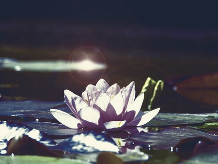 A lotus flower in the twilight of the night. Imagens
