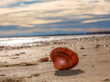 Seashell clam on the sand against the background of sparkling waves and cloudy sky on the beach..