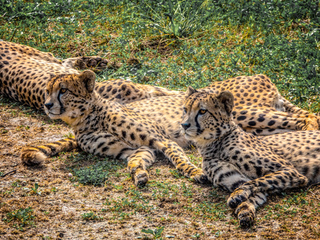 Three cheetahs lie on the ground among the green grass Stock Photo