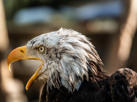 Portrait of bird Bald eagle Haliaeetus leucocephalus.