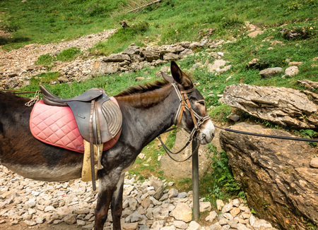 A donkey with a saddle for a walk in the mountains on the trail. 版權商用圖片