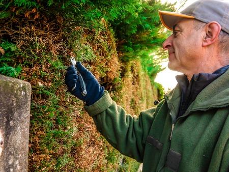 Man gardener doing maintenance work, pruning the living fence of cypress.