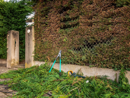 gardening scissors on the ground on the branches of cypress after garden work on trimming hedges.. 写真素材