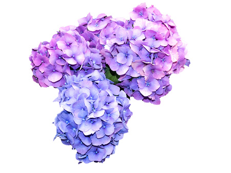 Flowers of violet Hydrangea isolated on white background