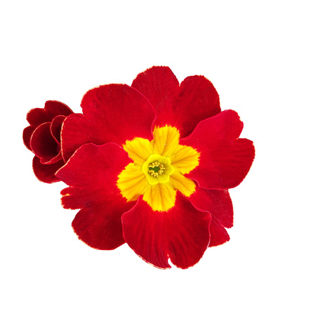 Head of Primrose flower isolated on white background