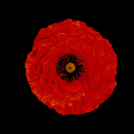 Red poppy flower isolated on black background