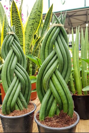 decorative spit of plant shoots of Sansevieria cylindrica, the sansevi re or sansevieria with cylindrical leaves, is a succulent plant belonging to the Asparagaceae family.