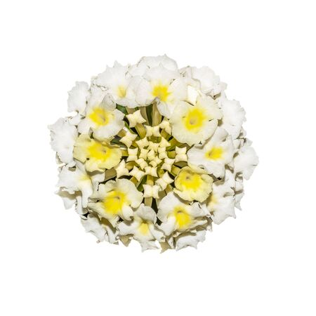 Little white flowers with a yellow center in the bud lantana camara isolated on white background. Archivio Fotografico