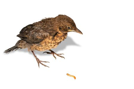 A young thrush looks at a flour worm on a white background with a shadow.