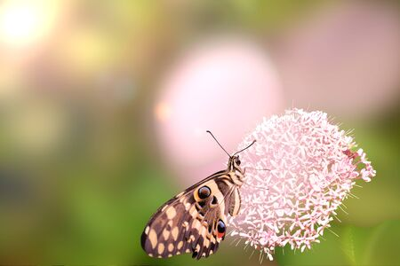 Exotic butterfly Giant Owl or Caligo memnon sitting at on the head of giant onion flower