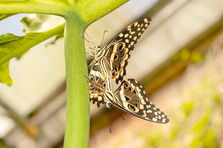 Two butterflies caught on ponytails for copulation on a thick stem of a plant