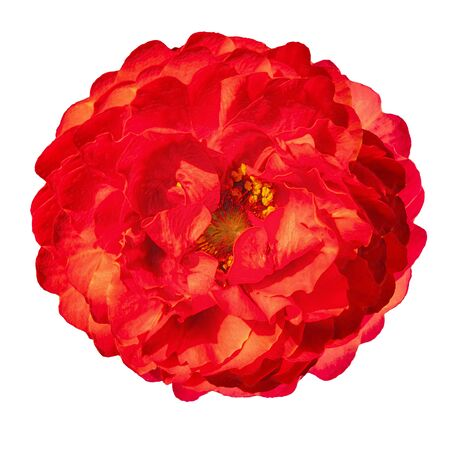 Bright red lush peony flower bud isolated on white background top view.