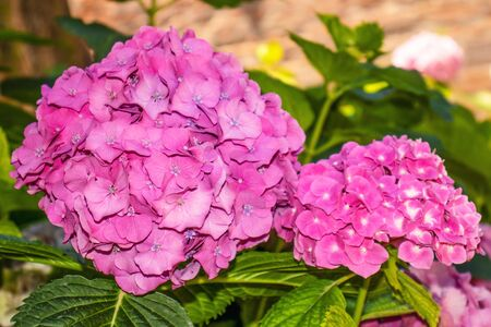 Pink hydrangea flowers with green leaves in the garden Stockfoto