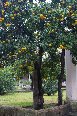 orange tree in Italian monastery in rainy day