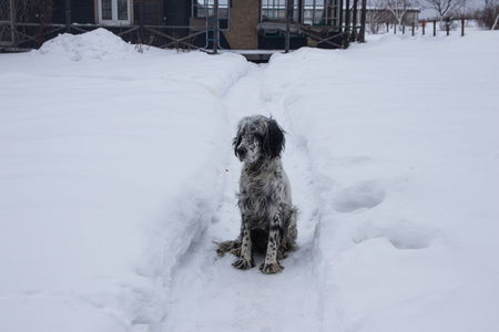 Cute black and white English Setter dog playing in snow. On a cloudy winter day Stock Photo