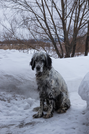 Cute black and white English Setter dog playing in snow. On a cloudy winter day 免版税图像