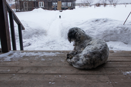 english setter dog lying on a wooden veranda and looking for running cat